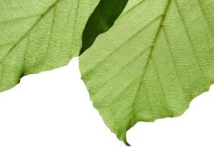 feuilles, fond blanc