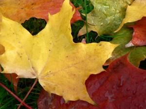 maple, leaves