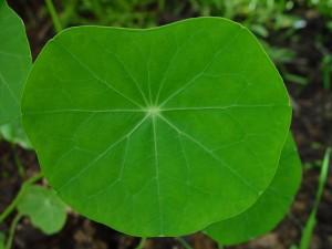 Настурция, лист