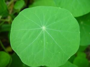 nasturtium, leaf, face