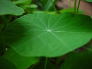 Настурция, лист, тень