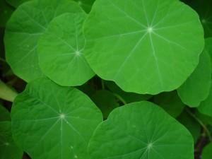 Настурция, листья