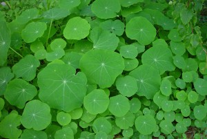 nasturtium, green plant, grass, leaves