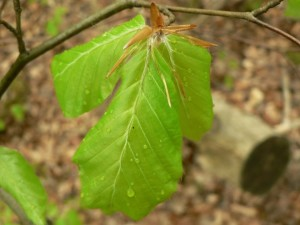 new, green leaves