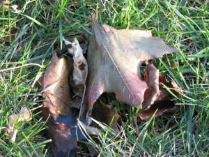 vieux, mort, feuille, herbe