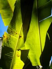 palma, foglie verdi