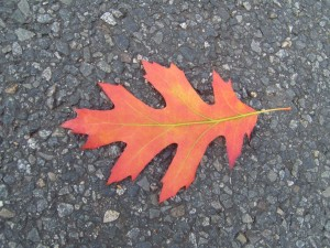 rouge, automne, feuille