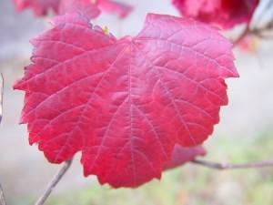 rosso, uva, foglia