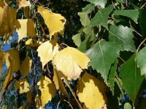 jaune, vert, bouleau, feuilles