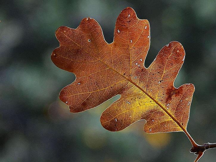 锡安、国家公园、树叶、树叶