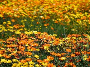 flowers, meadow, field
