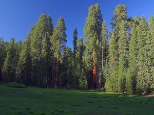 Sequoias, Wiesen, Bäume, Grün, Sonnenaufgang