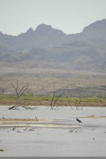 scenic, Cibola, wilderness, refuge, wading, bird, foreground