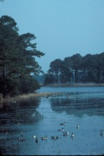 Chincoteague, a vadonban, a menedék