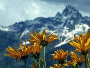 grand, Teton, national park, flowers