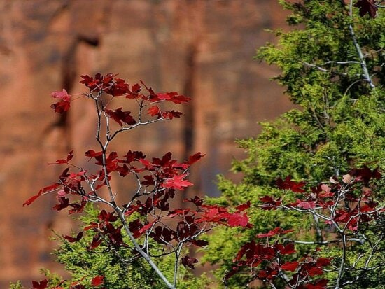 red, leaves, Zion, national park