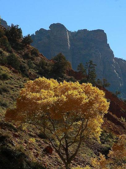 arbre, Zion, parc national