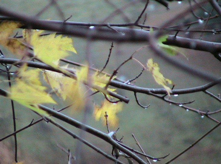 pluvieux, matin, automne, chute, jeune, érable, arbre