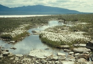 cottongrass, Coleen, river
