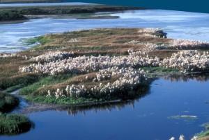 cottongrass, Selawik, ποτάμι