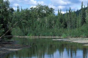 spruce, birch, forest, Kanuti, river