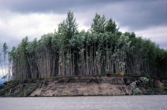 tree, grove, eroding, bank, river