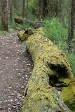 path, beside, mossy, log, porongurup