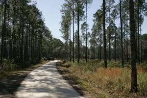 silniční, borovice, plantáž