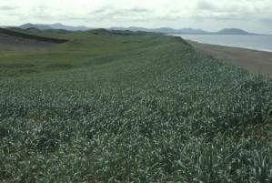 sable, dunes, owergrown, herbe