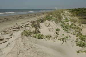 duinen, stieren, eiland