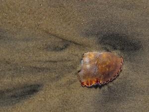 brutt, krabbe, shell, sølv, strand, strand, Coronado
