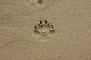 sable, footstep, animal, empreinte