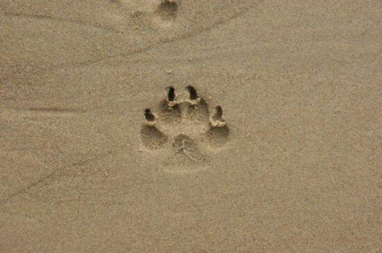 sand, footstep, animal, footprint
