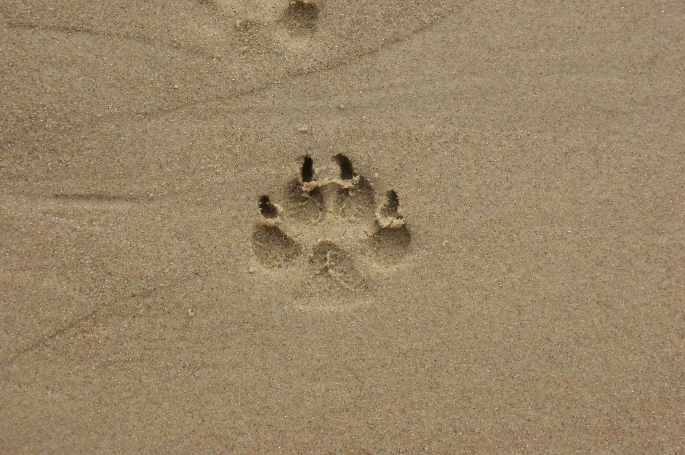 Tracks For Vehicles >> Free photograph; sand, footstep