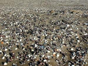 coquilles, beachs, sable