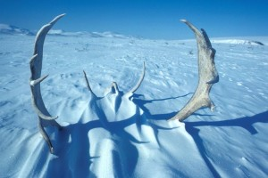 caribou, antlers, snow