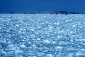 caribou, croisement, neigeux, toundra