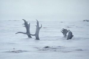 deep, snow, covers, deer, antlers