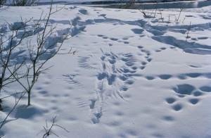 predator, prey, activity, footprints, animal, traces, snow