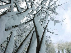 snow, covered, branch, tree
