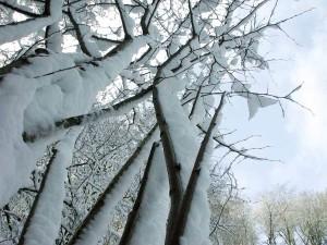 tuyết, được bảo hiểm, chi nhánh, cây