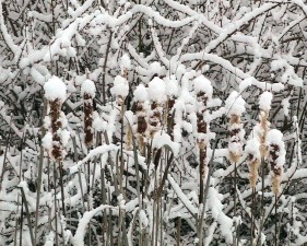 snow, covered, cattails