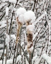 snow, covered, cattails, plants