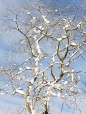 tuyết bao phủ, cây