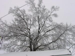 snowy, tree