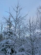 neigeux, arbres