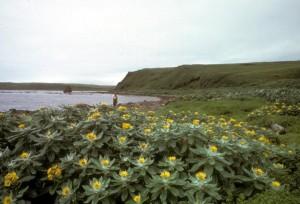 amchitka, ostrov, pobrežie, fleabane, plný, kvitnú