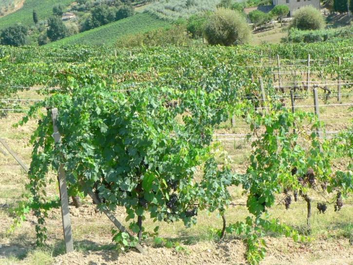 vingård, sommer