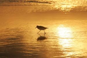 shorebird, 일출, 해안 산책