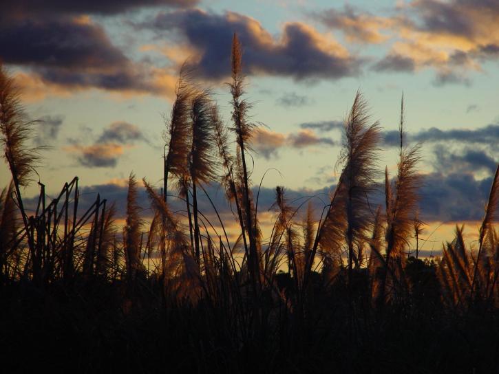 sunset, glow, reeds